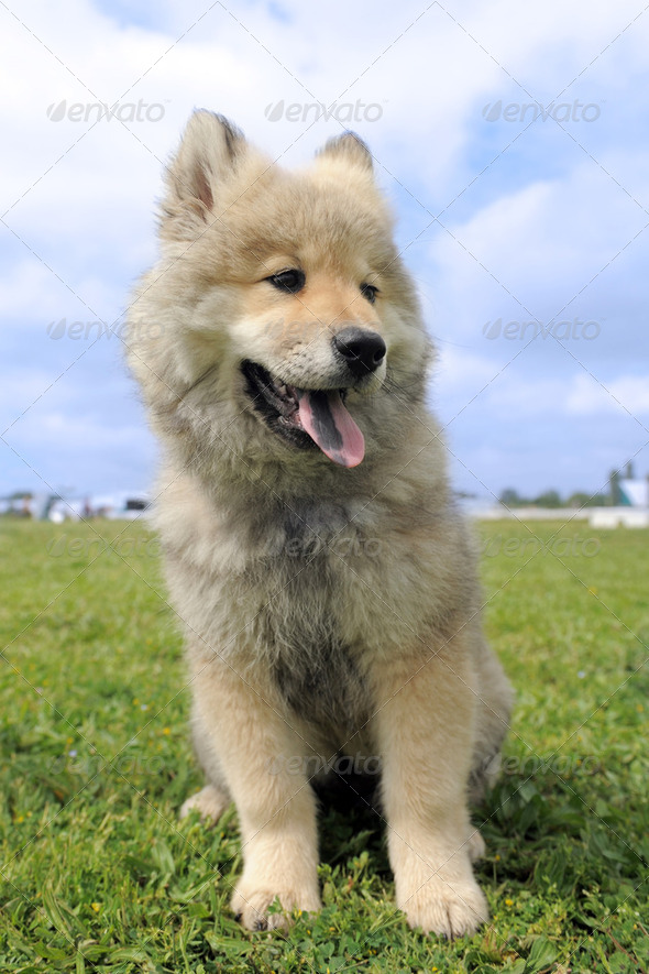 eurasier puppy - Stock Photo - Images