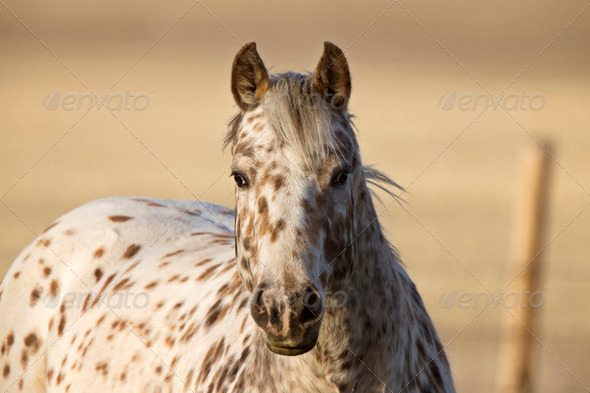 Horse in Pasture Canada - Stock Photo - Images