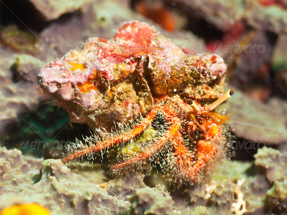 Hairy red hermit crab - Stock Photo - Images