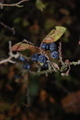 Wild black ashberry in autumn - PhotoDune Item for Sale