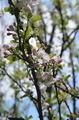 Wild cherry flowers - PhotoDune Item for Sale