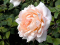 Single Rose - PhotoDune Item for Sale