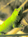 Day Gecko - PhotoDune Item for Sale