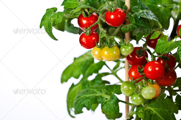Ripe garden tomatoes - Stock Photo - Images