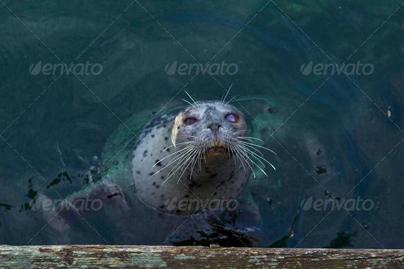 Blind harbor seal - Stock Photo - Images