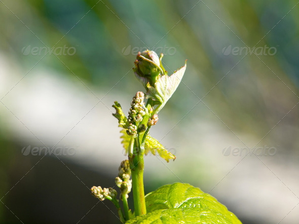 grape buds with leafs and grapes in early spring - Stock Photo - Images