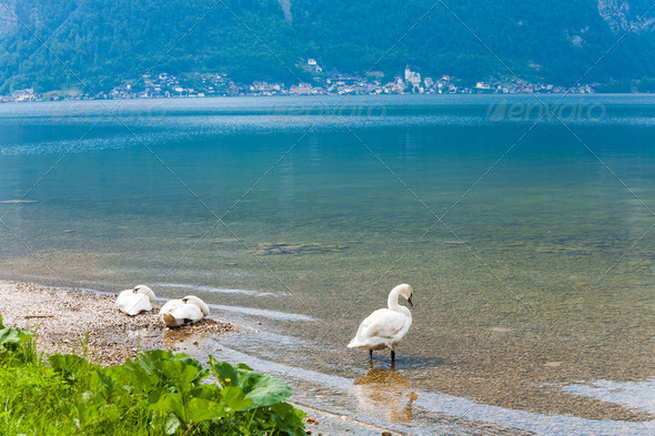 Swans on summer lake - Stock Photo - Images
