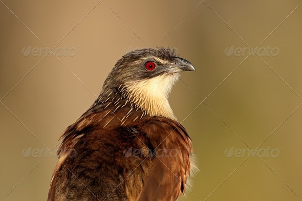 Burchells coucal - Stock Photo - Images