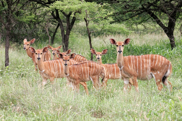 Nyala antelopes - Stock Photo - Images