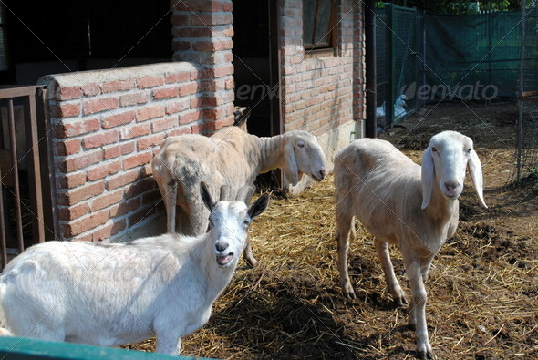sheep in a cowshed, concept of captivity - Stock Photo - Images