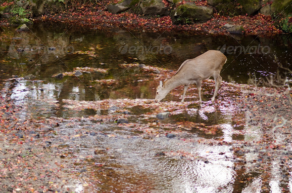 Sika deer drinking water in autumn - Stock Photo - Images