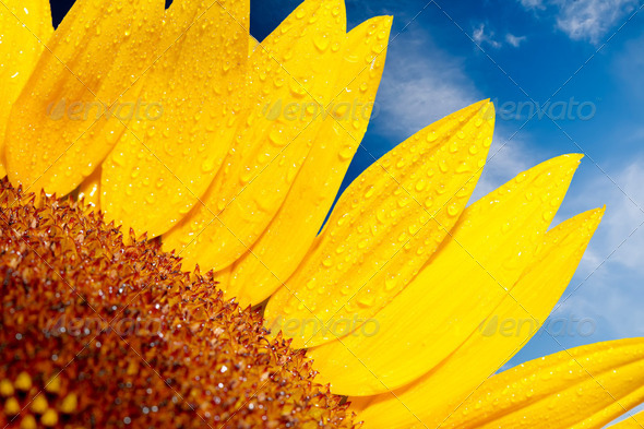 Sunflower on a background of the cloudy blue sky - Stock Photo - Images