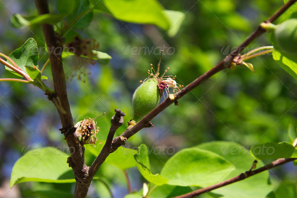 Green apricots on tree - Stock Photo - Images