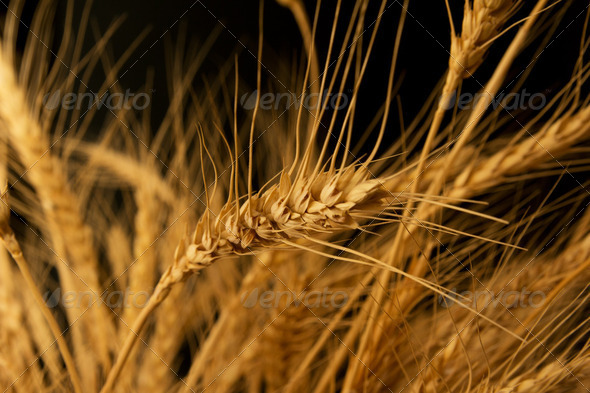 Yellow wheat on a black background - Stock Photo - Images