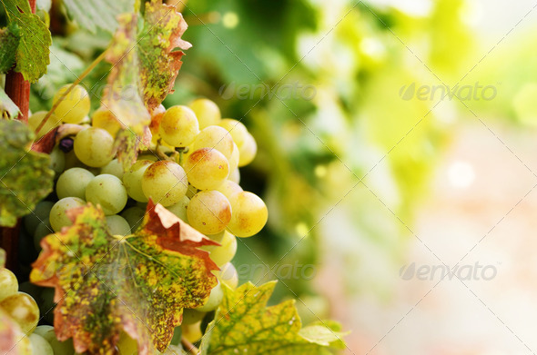 Green grapes - Stock Photo - Images