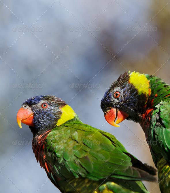 Lorikeet Pair - Stock Photo - Images