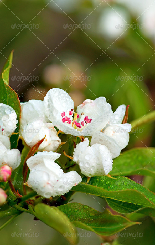 Apple flower after rain - Stock Photo - Images