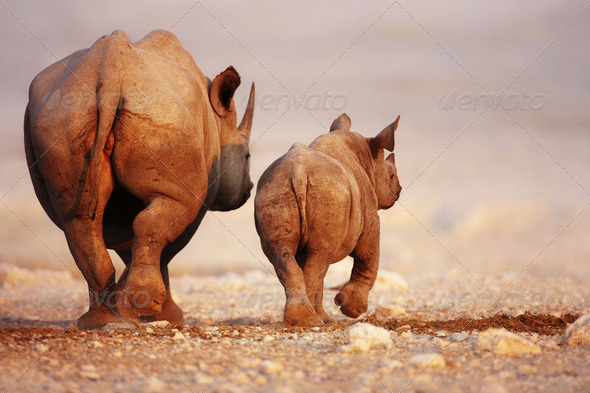 Black Rhinoceros baby and cow - Stock Photo - Images