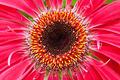 Gerbera flower closup - PhotoDune Item for Sale