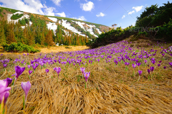 Wild spring crocuses growing at mountain valley landscape - Stock Photo - Images