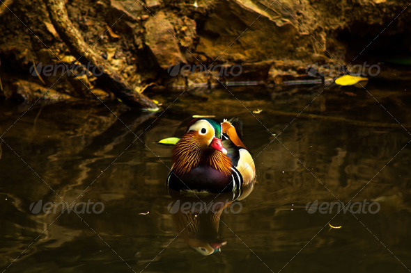 teal duck - Stock Photo - Images