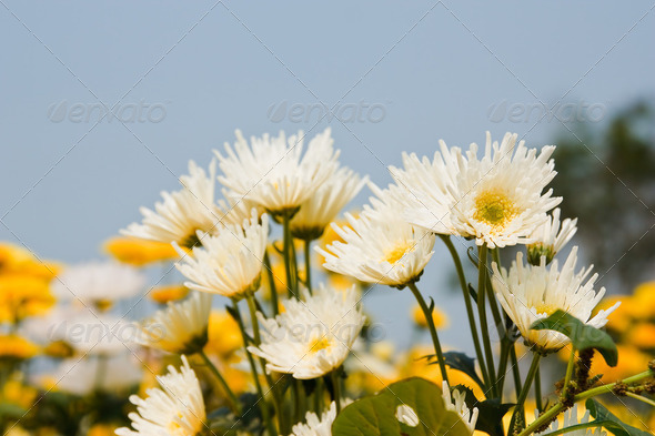 white chrysanthemums flowers - Stock Photo - Images
