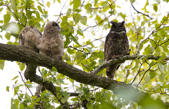 Great Horned Owl - Stock Photo - Images
