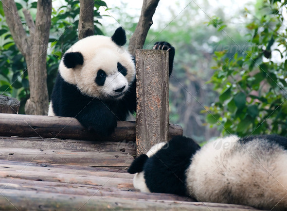 Giant panda comes to play  - Stock Photo - Images