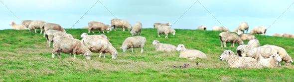 Sheeps - Stock Photo - Images