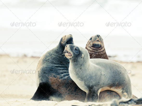Sea lions - Stock Photo - Images