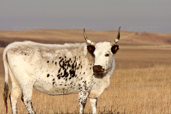Longhorn steer in Saskatchewan pasture - Stock Photo - Images