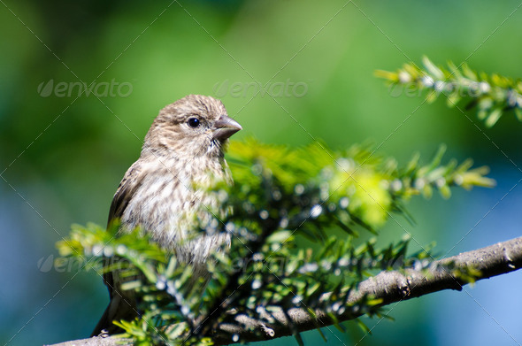 House Finch Perched in a Tree - Stock Photo - Images