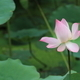 pink water lily - PhotoDune Item for Sale