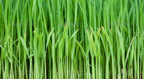 Young green paddy plant suitable background - Stock Photo - Images