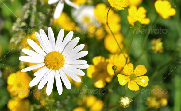 daisies and butter cups - Stock Photo - Images