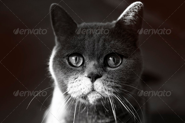 British Grey Cat - Stock Photo - Images