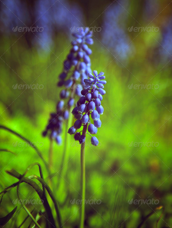 Blue spring flower. - Stock Photo - Images