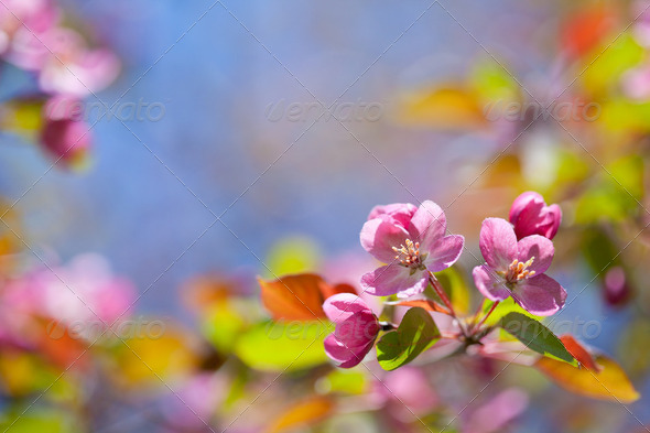pink blossom branch macro shot - Stock Photo - Images