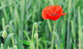 Poppy Flower in  a field - PhotoDune Item for Sale