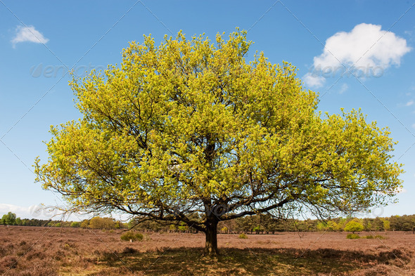 Beech tree in landscape - Stock Photo - Images