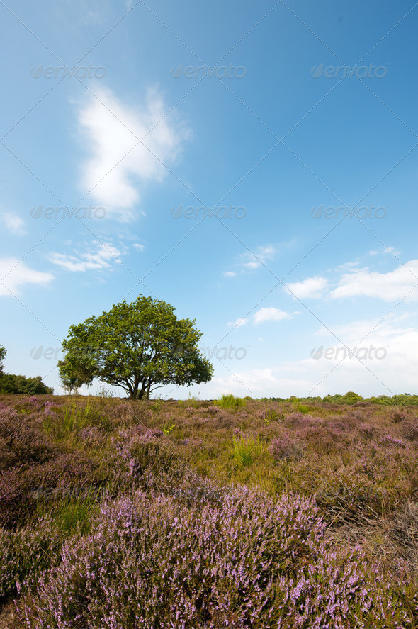 heather landscape - Stock Photo - Images
