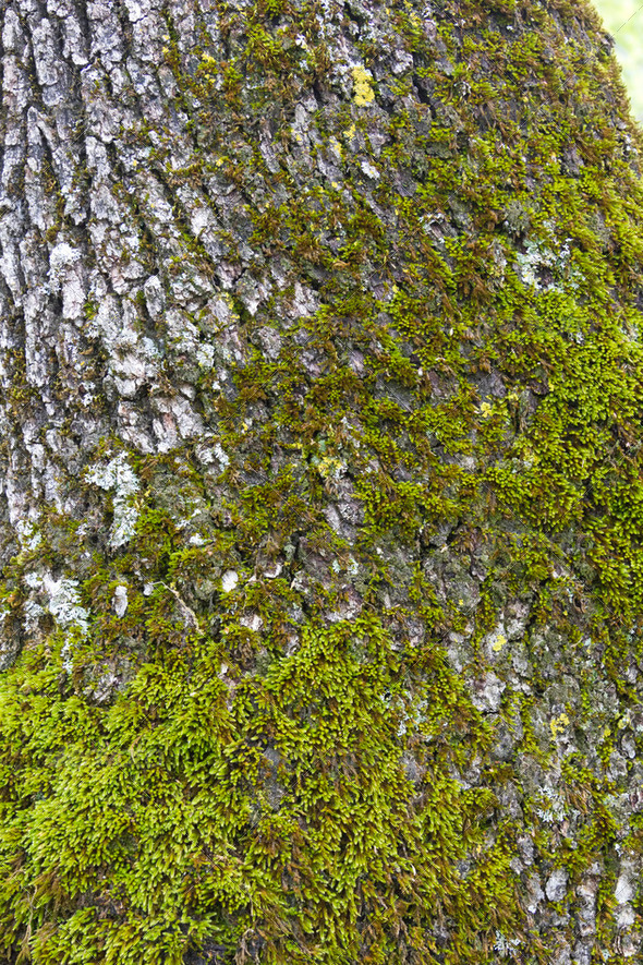 Tree bark texture with lichenes - Stock Photo - Images