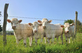 young Charolais cows - PhotoDune Item for Sale