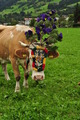 Cow from Brixen im Thule Austria - PhotoDune Item for Sale