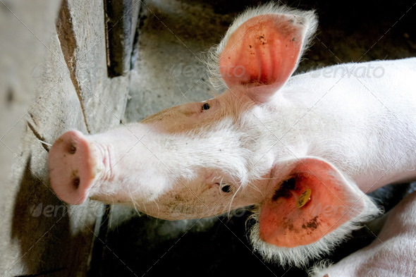 Pig portrait - Stock Photo - Images