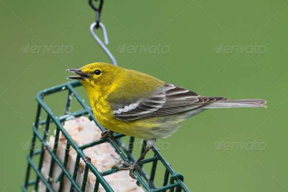 Pine Warbler - Stock Photo - Images