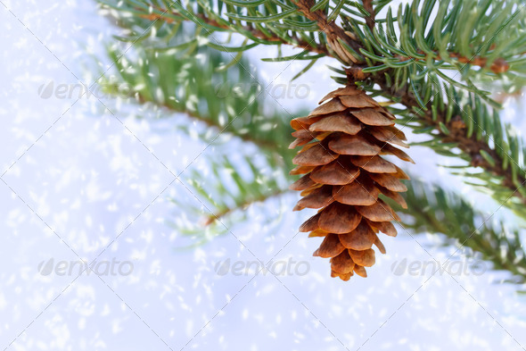 Pine cone with snow