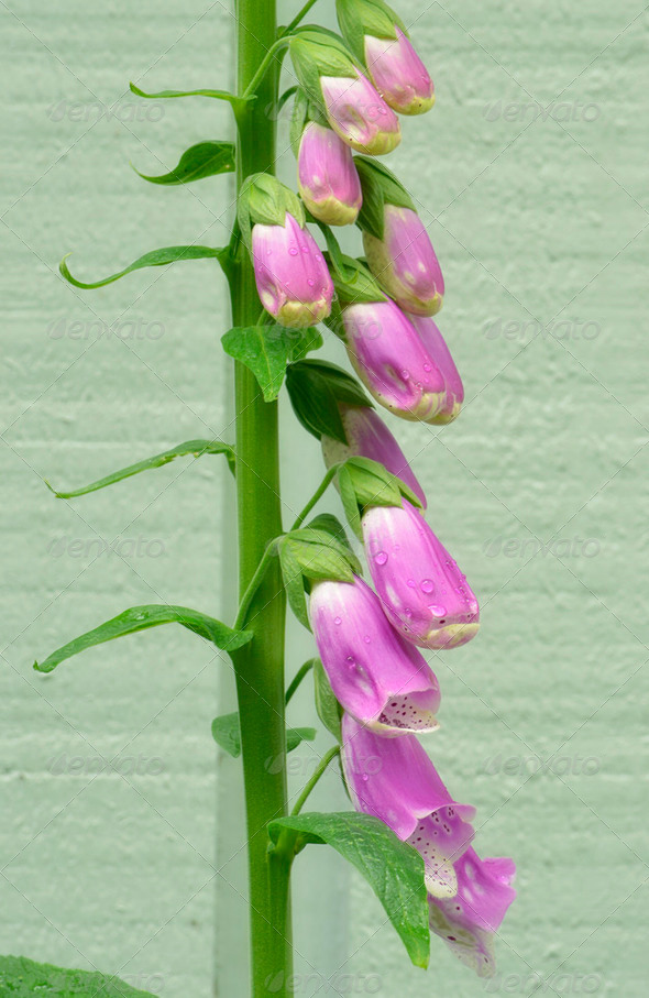 Pink foxgloves - Stock Photo - Images