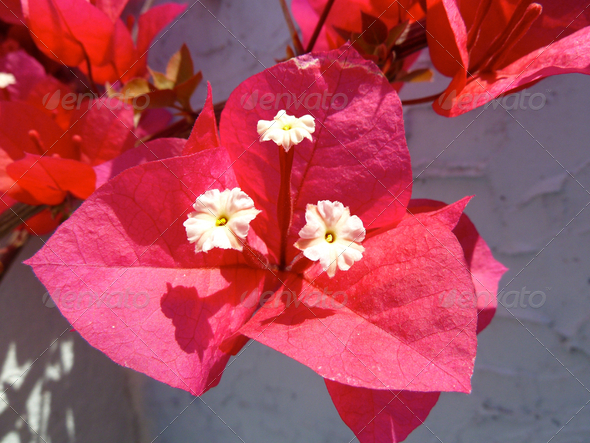 bougainvillea flower - Stock Photo - Images