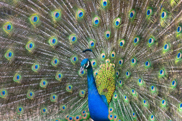 Peacock - Stock Photo - Images